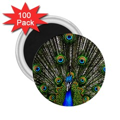 Peacock 2.25  Button Magnet (100 pack)