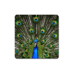 Peacock Magnet (Square)