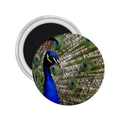 Peacock 2.25  Button Magnet