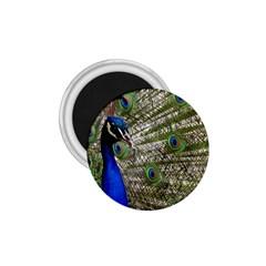 Peacock 1.75  Button Magnet