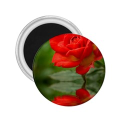 Rose 2 25  Button Magnet