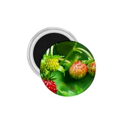 Strawberry  1.75  Button Magnet