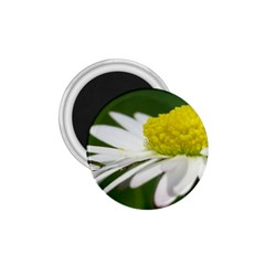 Daisy With Drops 1.75  Button Magnet