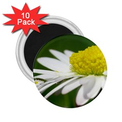 Daisy With Drops 2.25  Button Magnet (10 pack)