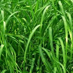 Grass Canvas 12  X 12  (unframed)
