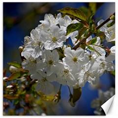 Cherry Blossom Canvas 16  x 16  (Unframed)