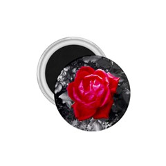 Red Rose 1 75  Button Magnet