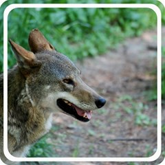 Red Wolf Canvas 16  x 16  (Unframed)