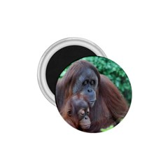 Orangutan Family 1.75  Button Magnet