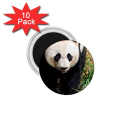 Giant Panda 1 75  Button Magnet (10 Pack)