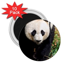 Giant Panda 2 25  Button Magnet (10 Pack)
