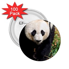 Giant Panda 2.25  Button (100 pack)