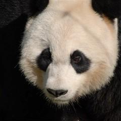 Adorable Panda Canvas 12  x 12  (Unframed)