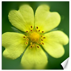 Yellowwildflowerdetail Canvas 16  X 16  (unframed)