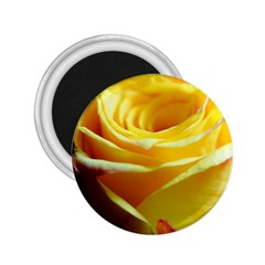 Yellow Rose Curling 2.25  Button Magnet