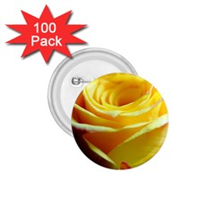 Yellow Rose Curling 1 75  Button (100 Pack)