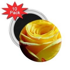 Yellow Rose Curling 2.25  Button Magnet (10 pack)