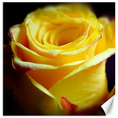 Yellow Rose Curling Canvas 16  x 16  (Unframed)