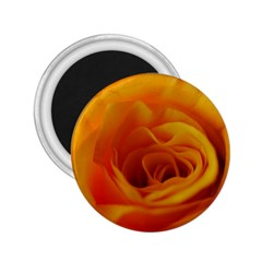 Yellow Rose Close Up 2.25  Button Magnet