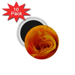 Yellow Rose Close Up 1.75  Button Magnet (10 pack)