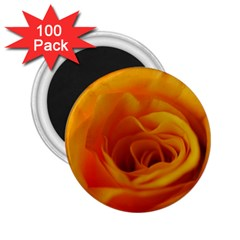 Yellow Rose Close Up 2.25  Button Magnet (100 pack)