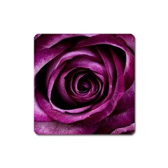 Deep Purple Rose Magnet (Square)