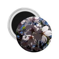 Cherry Blossoms 2.25  Button Magnet
