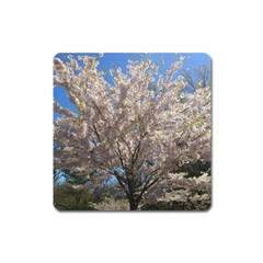 Cherry Blossoms Tree Magnet (Square)