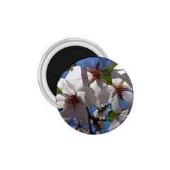Cherry Blossoms 1.75  Button Magnet
