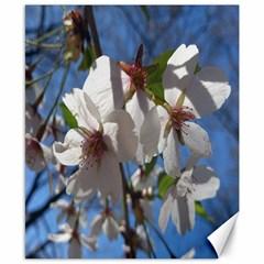 Cherry Blossoms Canvas 8  x 10  (Unframed)