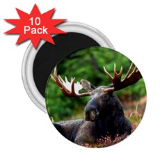 Majestic Moose 2.25  Button Magnet (10 pack)
