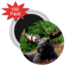 Majestic Moose 2.25  Button Magnet (100 pack)