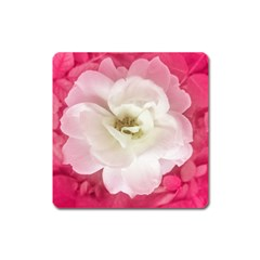 White Rose With Pink Leaves Around  Magnet (square)