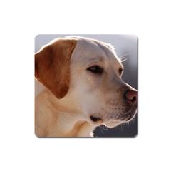3 Labrador Retriever Magnet (Square)