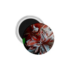 Amaryllis Double Bloom 1 75  Button Magnet