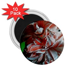 Amaryllis Double Bloom 2 25  Button Magnet (10 Pack)