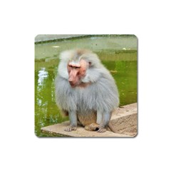 Grey Monkey Macaque Magnet (square)