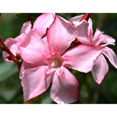 Pink Oleander Magic Photo Cubes