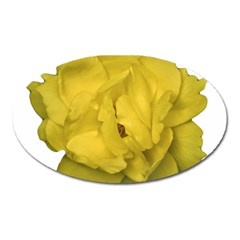 Isolated Yellow Rose Photo Oval Magnet