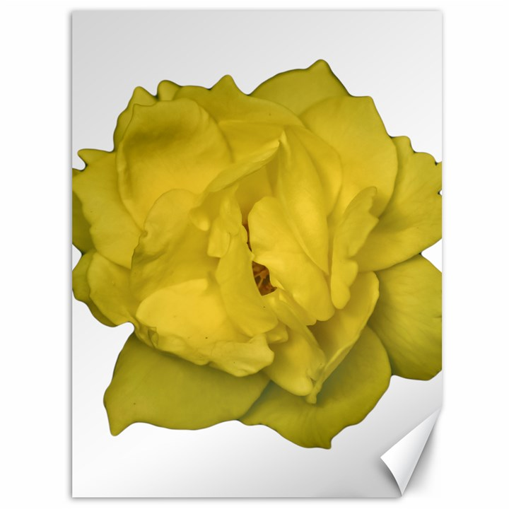 Isolated Yellow Rose Photo Canvas 36  x 48