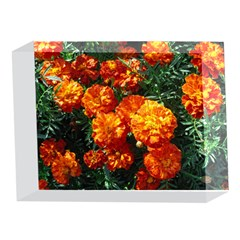 Tagetes 5 x 7  Acrylic Photo Blocks