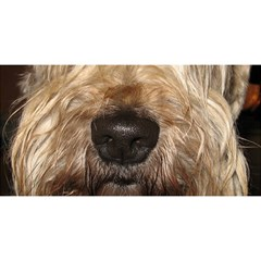 Wheaten YOU ARE INVITED 3D Greeting Card (8x4)