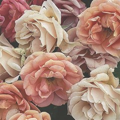 Great Garden Roses, Vintage Look  Magic Photo Cubes