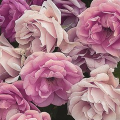Great Garden Roses Pink Magic Photo Cubes