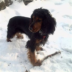 Black Tri English Cocker Spaniel In Snow Magic Photo Cubes