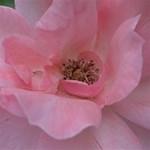 Pink Rose Storage Stool 12   Top