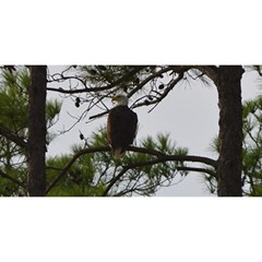 Bald Eagle 3 You Are Invited 3d Greeting Card (8x4)