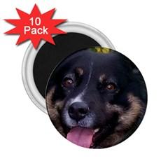 Australian Shepherd Black Tri 2.25  Magnets (10 pack)