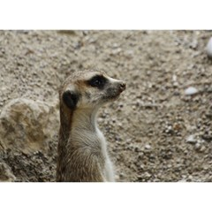Adorable Meerkat Birthday Cake 3D Greeting Card (7x5)