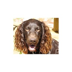 Boykin Spaniel YOU ARE INVITED 3D Greeting Card (8x4)